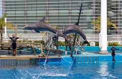 Dolphin show in the Oceanographic of Valencia in Spain. Valencia, Spain - June 26, 2015: Dolphin show in the Oceanographic of Valencia in Spain. The Royalty Free Stock Photography