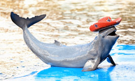 Dolphin show on the pool. Dolphin smile show on the pool stock photo