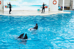 Dolphin show scene Stock Images