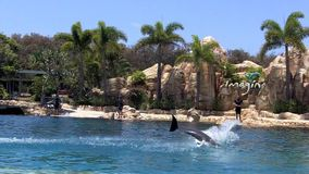 Dolphin show in Sea World Gold Coast Australia. stock video footage