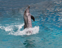 Dolphin show standing in water Stock Photo