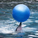 Dolphin show in the water park Royalty Free Stock Photos