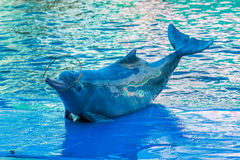 Dolphin show in the water park Royalty Free Stock Image