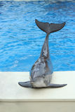 Dolphin sitting on the edge of a pool Royalty Free Stock Image