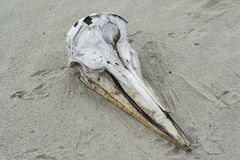Dolphin skull Royalty Free Stock Image