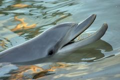Dolphin Smile. Dolphin surfacing with sunset reflecting off the water Stock Photography