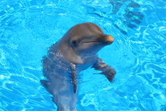 Dolphin. Smile in the clean-water Royalty Free Stock Image