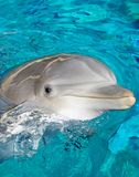 Dolphin Smile. A portrait of a dolphin and very vibrant blue water appearing to be smiling Stock Photo