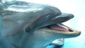 Dolphin smiles welcomes visitors looks at the camera stock footage