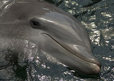 Dolphin smiling Stock Images