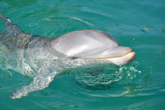 Dolphin Smiling Close Up in Water Stock Photos