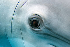 Dolphin smiling eye close up portrait Royalty Free Stock Photo