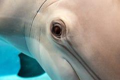 Dolphin smiling eye close up portrait Stock Image