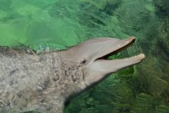 Dolphin smiling Royalty Free Stock Photography