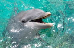 Dolphin smiling in the ocean Stock Photo