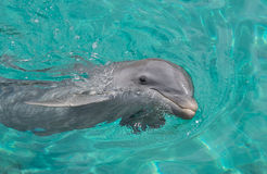 Dolphin smiling in the ocean Royalty Free Stock Photo