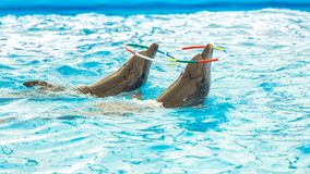 Dolphin spinning hoop in the pool, Dolphins show presentation.  royalty free stock photography