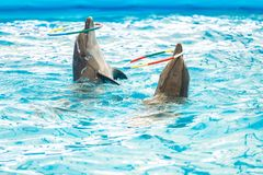 Dolphin spinning hoop in the pool, Dolphins show presentation.  royalty free stock photo