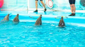Dolphin spinning hoop in the pool, Dolphins show presentation stock images