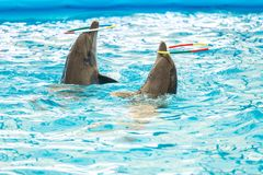 Dolphin spinning hoop in the pool, Dolphins show presentation.  royalty free stock images