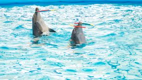 Dolphin spinning hoop in the pool, Dolphins show presentation.  stock images
