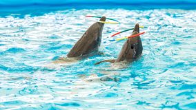 Dolphin spinning hoop in the pool, Dolphins show presentation.  royalty free stock photos