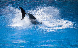 Dolphin Splash. A dolphin splashing into blue water Stock Photos