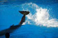 Dolphin Splashing Royalty Free Stock Image
