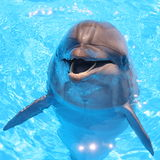 Dolphin - Stock Photos. Dolphin - Bottlenosed Dolphins in blue water royalty free stock photos