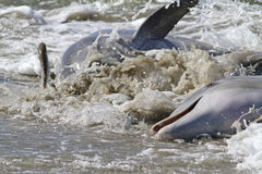 Dolphin Strand Feeding. Bottlenose dolphin drive fish onto the beach and then beach themselves to feed on the stranded prey in a behavior known as Strand Feeding stock photography