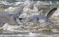 Dolphin Strand Feeding Stock Photography