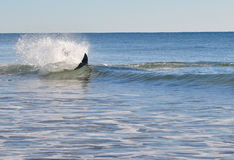 Dolphin in the surf. A dolphin surfing off Bribie Island, Australia Stock Photo