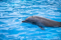 Dolphin at surface Royalty Free Stock Image