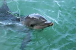 dolphin surfaces 免版税图库摄影