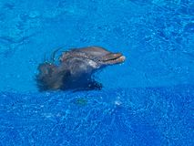 Dolphin Surfacing Stock Image