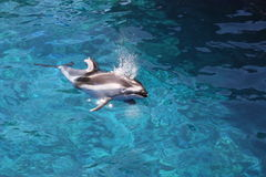 Dolphin surfacing. On top of water with additional water coming out of its spout Stock Image