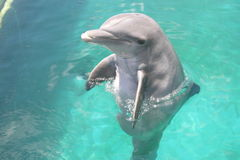 Dolphin. Swim with the Dolphins Anguilla Stock Images