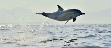 Dolphin swim and jumping from the water. Dolphin, swimming in the ocean. Dolphin swim and jumping from the water. The Long-beaked common dolphin scientific name royalty free stock photos