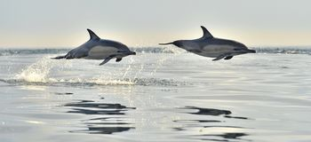 Dolphin swim and jumping from the water. stock photo