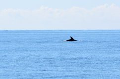 Dolphin swim at sea Royalty Free Stock Images