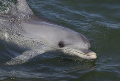 Dolphin swimming. In the water Stock Photos