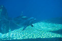 Dolphin Swimming Stock Image