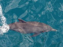 A dolphin in turquoise seas. A dolphin swimming in beautiful turquoise seas in the South Pacific Stock Photography