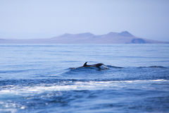 Dolphin swimming in the blue Pacific ocean, Galapagos Stock Image
