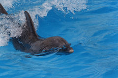 Dolphin. Swimming in blue water Stock Photography