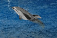 Dolphin swimming cheerfully Royalty Free Stock Images