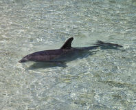 Dolphin Swimming in Clear Water Stock Image
