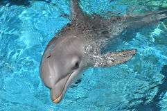 Dolphin Swimming Closeup. Dolphin swimming in water looking at camera royalty free stock photography