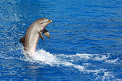 Dolphin. Swimming with almost the entire body out of the water Royalty Free Stock Photography