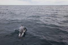 A dolphin swimming near peninsula valdes. A dolphin swimming at the atlantic sea near peninsula valdes, Argentina Royalty Free Stock Photos